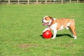 company-of-animals-boomer-ball-dog-toy-4inch-110mm-red.jpg